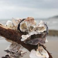 Oyster Shell Garland | 150cm long